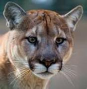mountain_lion_photo