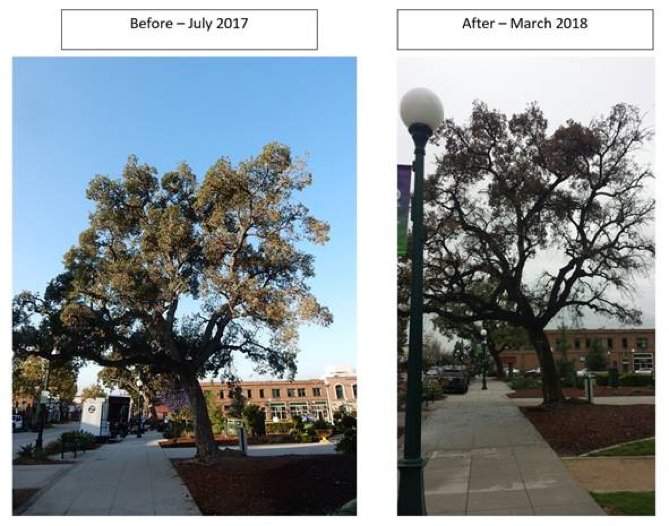 Library Park - Oak Tree Before and After